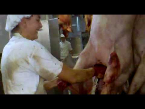SLAUGHTERHOUSE: slaughtering pigs, collecting blood, woman operating