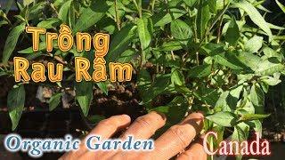 Cách Trồng Rau Râm Từ Nhánh   Backyard Garden
