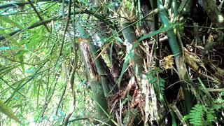 Mengenali beberapa lokasi yang mempunyai bambu pethuk dan cara mencari bambu ketemu dahan