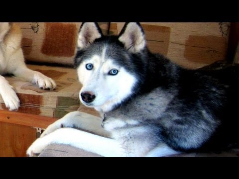 0 A GIANT Dog House?  Kind of.. .  Siberian Husky Dog House