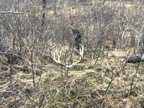Huge Mule Deer Antlers...