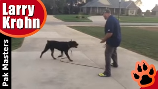 First E Collar / Remote Collar Session with Big Powerful Rottweiler