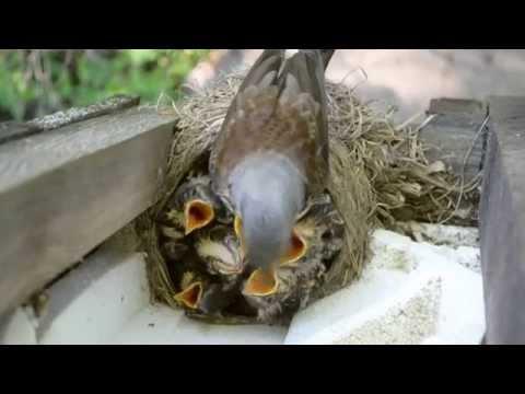 Дрозды кормление птенцов