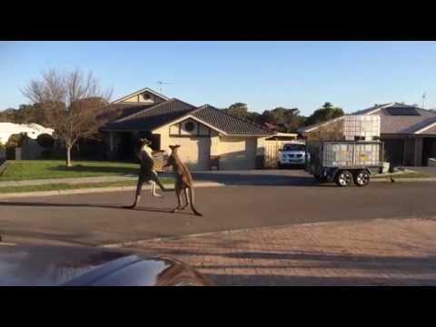 dos canguros peliando en calle de australia