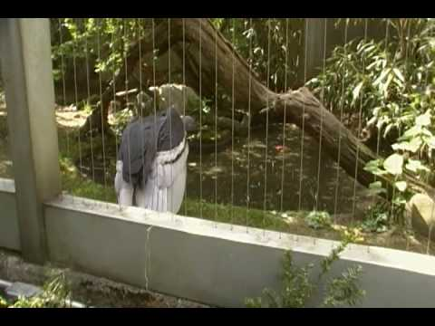 Andean Condor Vulture The Largest Bird In The World At The Bronx Zoo Video