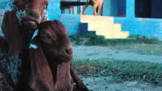 Bakra Eid funny video..(UPLOAD BY S STAR:)