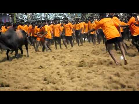 Madurai Jallikattu : Bull Taming, A Crime Against Animals - Sukanya Kadyan video
