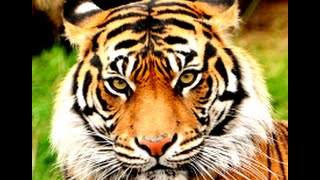 Tiger as a Totem: Personality Characteristics and Life-Path Challenges
