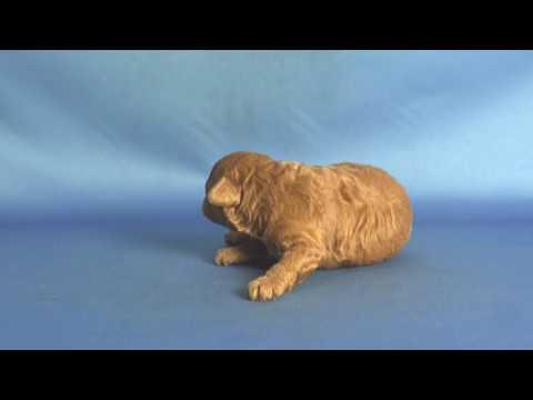 【ペットノート】 マルプー(マルチーズ×トイ・プードルのミックス犬) 男の子 16061201