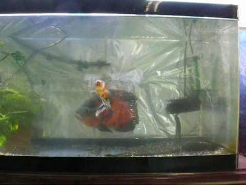 肉食魚と餌金の奇跡の混浴(*`・ω・)ゞデシ