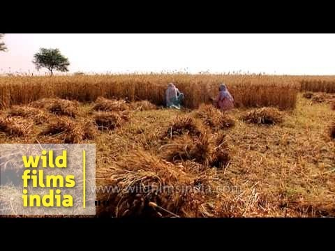 Women agricultural workers harvest wheat in India