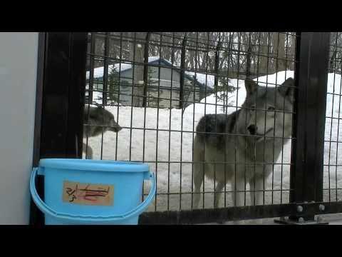 オオカミのお食事タイム(円山動物園)