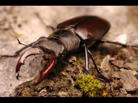 Жук-олень: полет | Stag beetle: flight (Lucanus cervus)