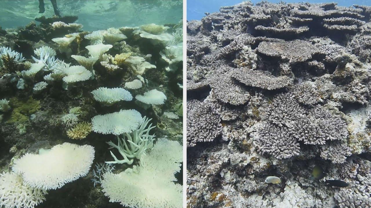 サンゴ死滅、茶色の海に