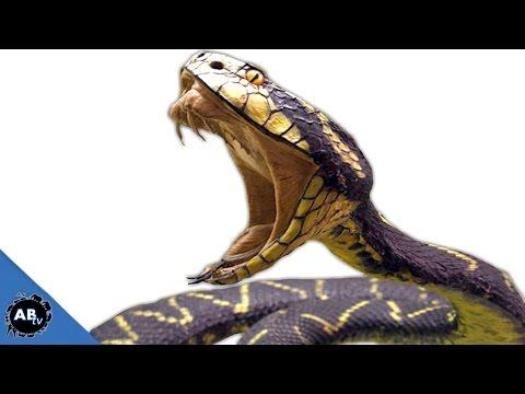 Deadliest Snakes In The World! SnakeBytesTV - Ep. 395 : AnimalBytesTV