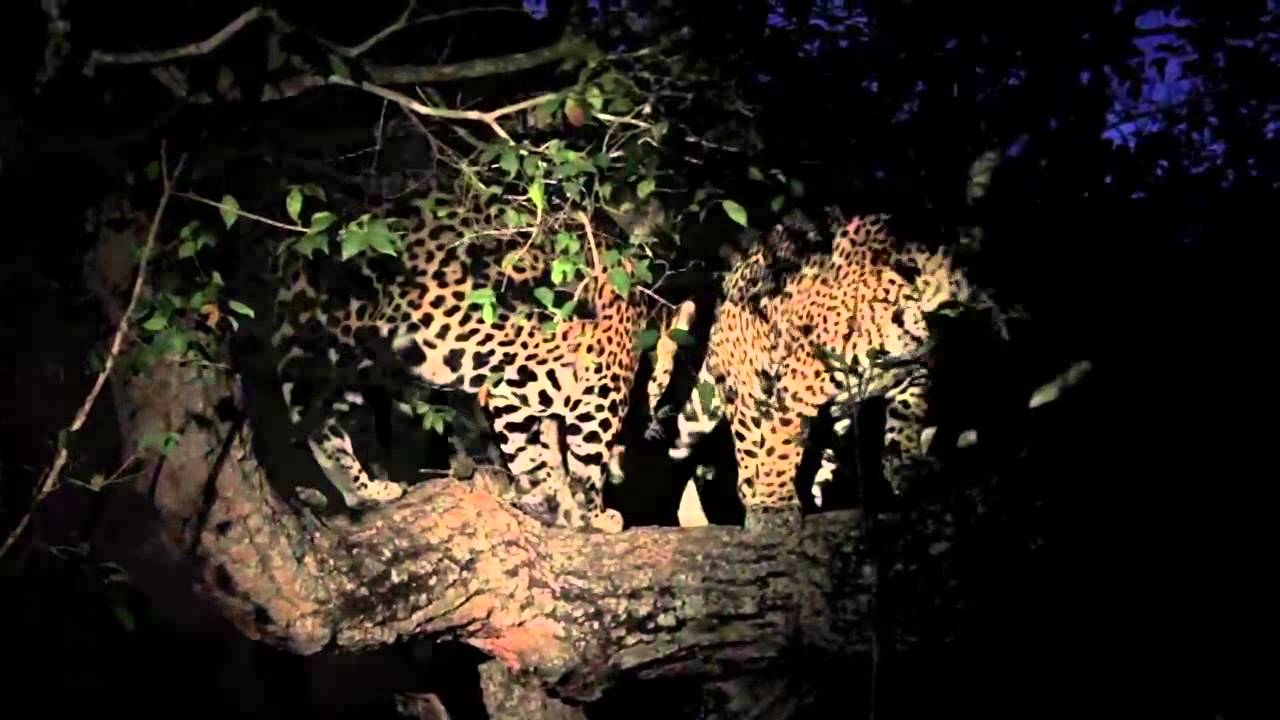 Jaguar Climbing Down Tree Jaguars Climb Trees Projeto