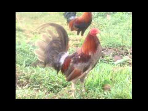 Las 10 mejores clases de gallos