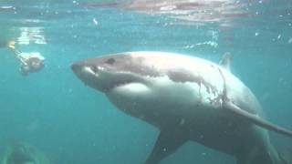 Shark Cage Diving South Africa - Diving with Great white Sharks in Gansbaai