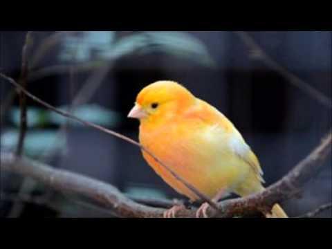 Suara Kicau Burung Kenari Untuk Melatih - Mastering video