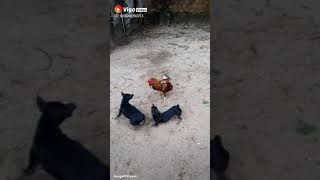 Fight murgha or dogs ka muqabla funny videos