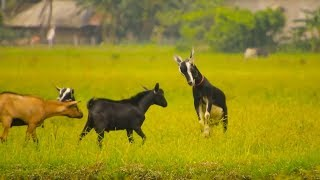 Domestic animals are grazing and playing in the field. See what they do while grazing.