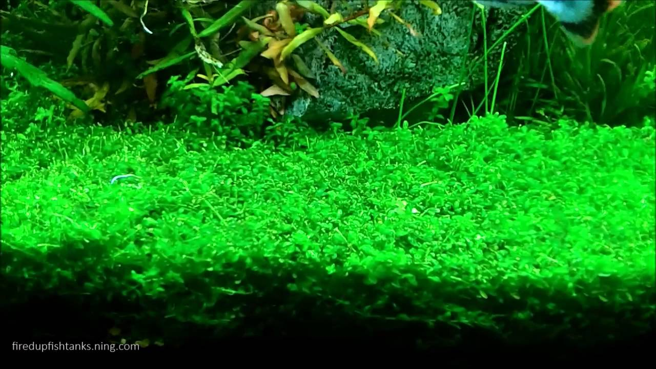 Aquascaping with Pearlweed...How to start a carpet of Pearlweed ...