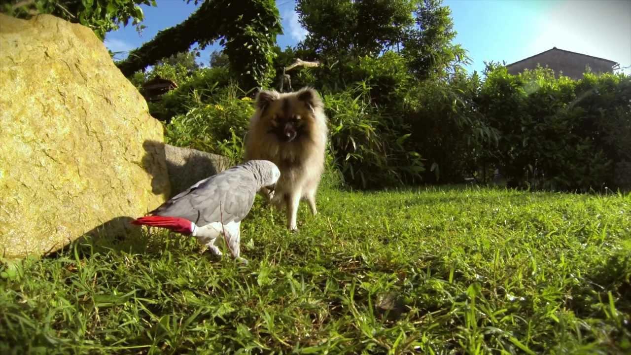 perroquet gris du gabon et chien spitz nain jeux au jardin gopro dog hd youtube. Black Bedroom Furniture Sets. Home Design Ideas