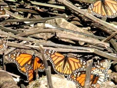 The sound of Monarch Butterflies