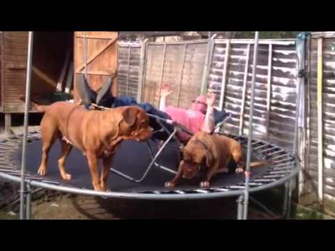 Sunbathing trampolining dogue de Bordeaux