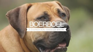 BOERBOEL FIVE THINGS YOU SHOULD KNOW
