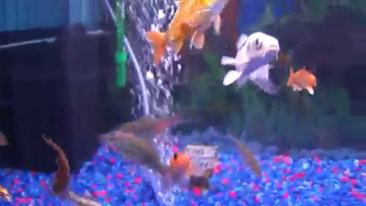The most beautiful koi aquarium tank ghost koi butterfly for Butterfly koi fish aquarium