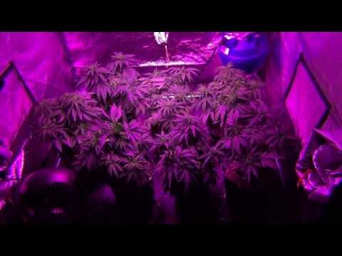 California Lightworks 660W Solarstorm - exoticgenetix (Afterlife OG) / DNA Genetics (Tangie) Day 43