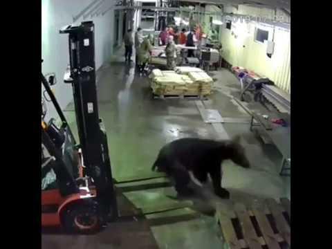 Медведь ворвался в цех рыбозавода в Охе