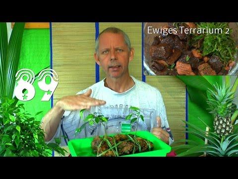 Ewiges Terrarium. Die Sämlinge und wie geht es weiter mit den Exoten und anderen Pflanzen Teil 89