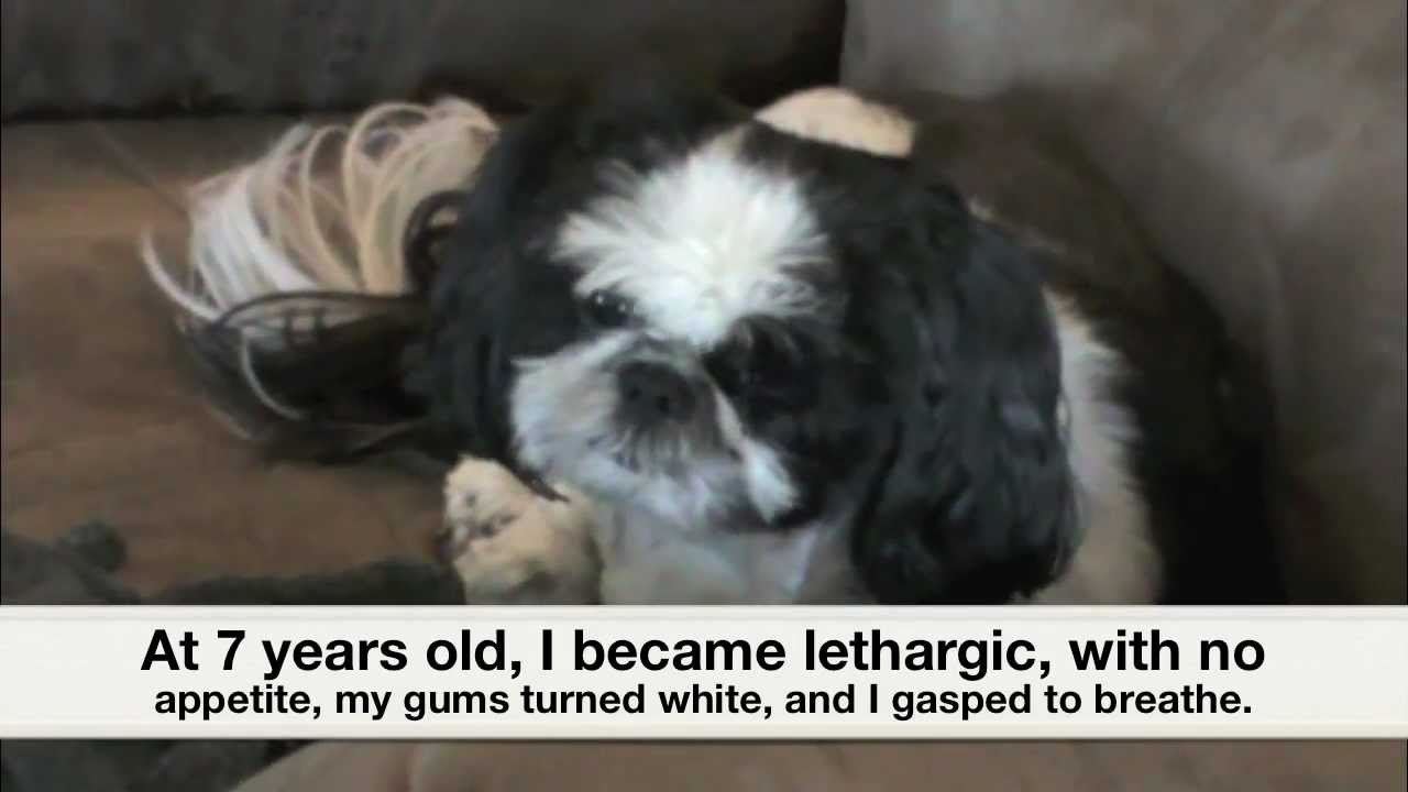 Shih tzu puppy survival story