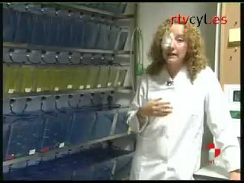 El pez cebra, ejemplo en capacidad de regeneración