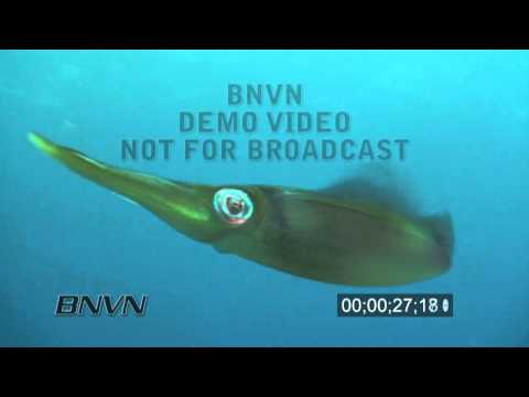 7/31/2010 Close Up Squid stock footage