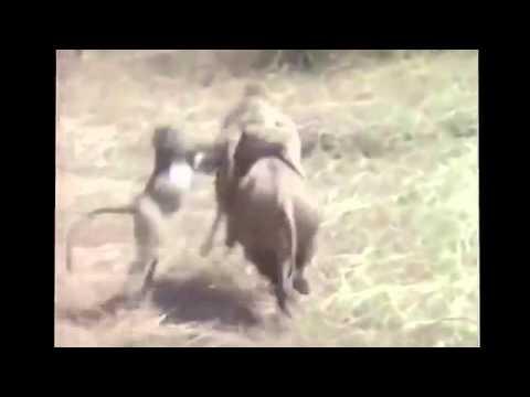 Persecución monos en jabalí