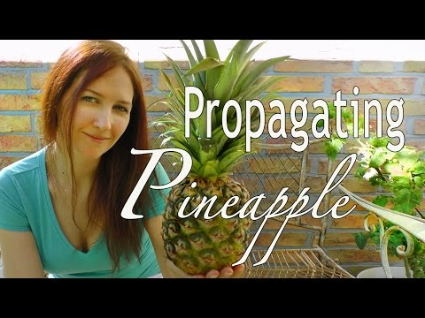 Pineapple: How to Propagate Pineapple