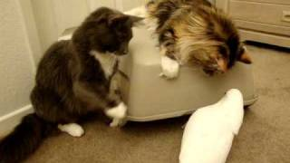 Cats and Parrot playing with box Part 1