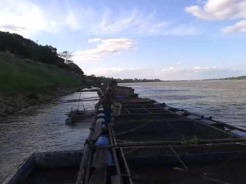 ให้อาหารปลาเผาะ กระชังปลาริมแม่น้ำโขง นครพนม Fish farm