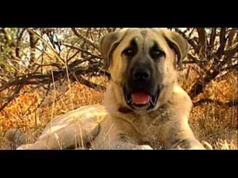 Turkish Dog Kangal protects African sheeps - Anatolian Guard Dog !!!