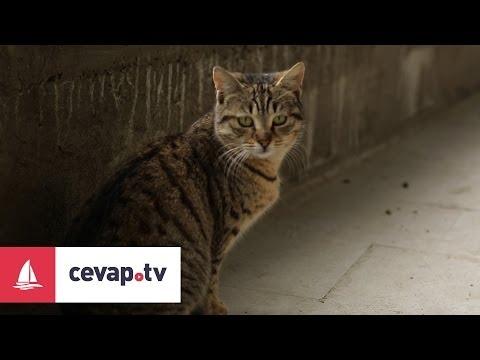 Kedilerde görülen AIDS nasıl bir hastalıktır?
