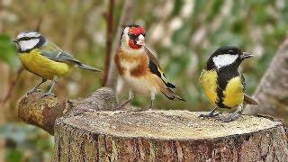 Bird Sounds Spectacular : Morning Bird Song