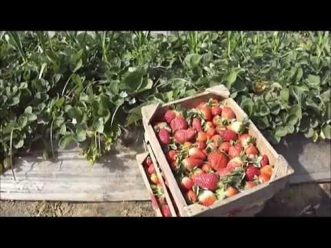 Elkady (Egypt) - Strawberry Festival - January 2012