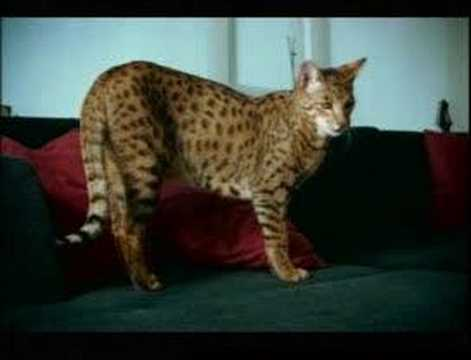 SEE ONE OF THE MOST EXPENSIVE PET CATS IN THE WORLD Video