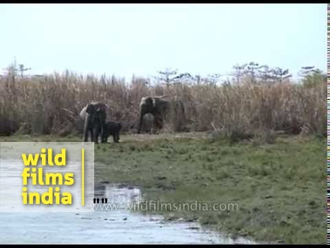 Herd of Asiatic elephants near a water hole  at Kaziranga National Park, Assam