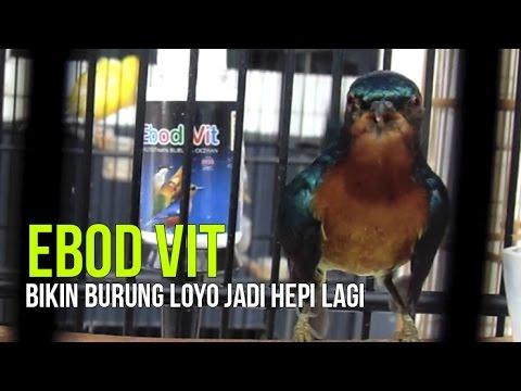 media burung gelatik gacor