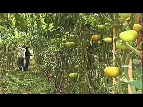 Da série Alimentos na mesa brasileira, a história curiosa do tomate - Jornal Futura - Canal Futura