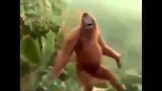 le plus drole singe du monde